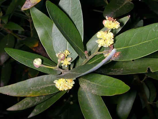 Flori de dafin