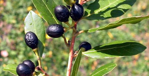 Fructe de dafin