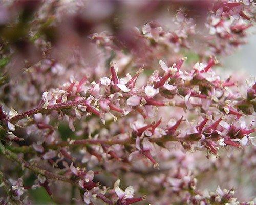 flori - cătină roșie