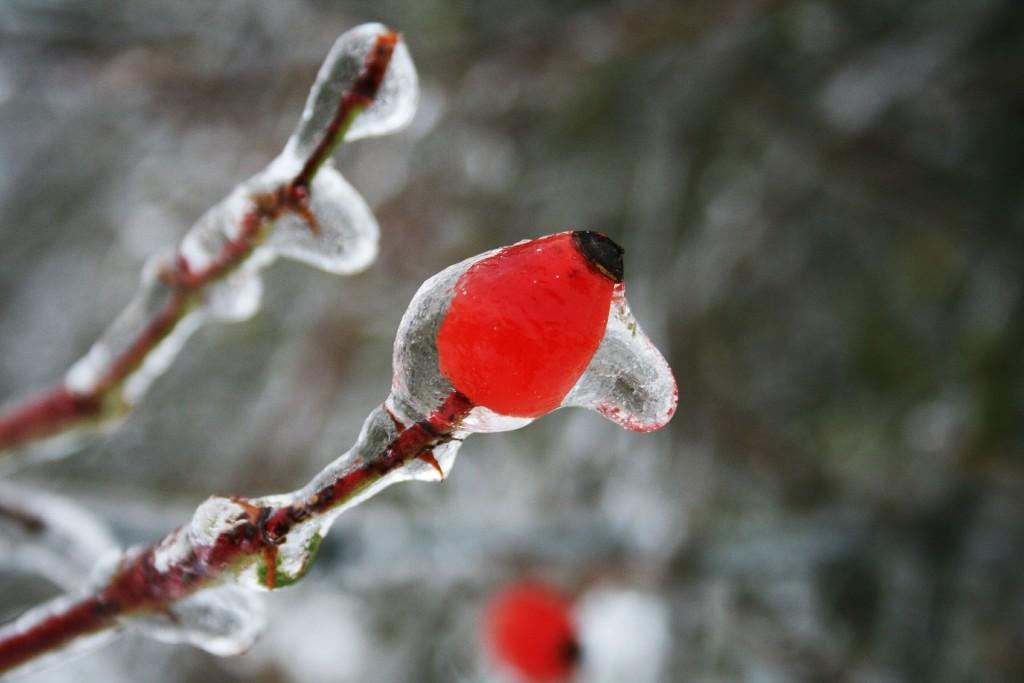 prin îngheț, măceșele își pierd proprietățile