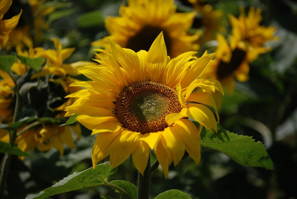 sunflower-369730_1280